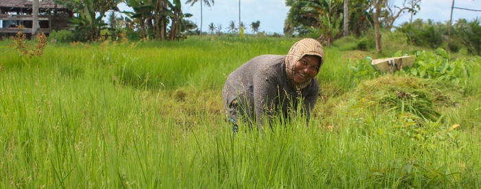 SUB: Collecting grass for cattle in Sungai Pelang, Indonesia. Photo: Jaswadi